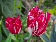 423963205 Red-white Tulip 1