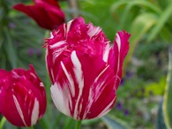 423963389 Red-white Tulip 2